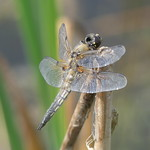 Four-Spotted Chaser P1760747 thumbnail
