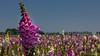 Foxglove (Digitalis purpurea) (BraCom (Bram)) Tags: 169 blog bracom bramvanbroekhoven depthoffield digitalispurpurea dof holland nederland netherlands tholen vingerhoedskruid zeeland bloem bomen closeup flower foxglove paars purple sky trees widescreen poortvliet nl gewoonvingerhoedskruid pijpenkop poppenschoentje