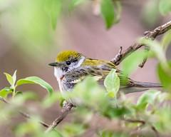 Chestnut-sided Warbler (MoeDW) Tags: mageemarsh chestnutsidedwarbler dendroicapensylvanica warbler bird