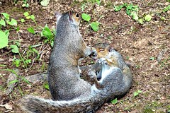 Gray Squirrels at Play (Anne Ahearne) Tags: wild animal nature wildlife squirrels playing gray grey easterngraysquirrel funny cute animals wrestling