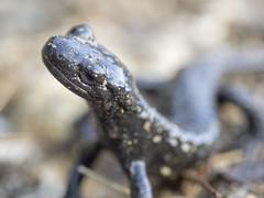 P6100013 (turbok) Tags: alpensalamandersalamandraatra repttilien tiere wildtiere c kurt krimberger