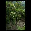 DSC00365 (leeyu_flickr) Tags: 生活 陽明山 花 樹 白 植物 flower tree 華八仙 黃色花 白色花萼 分工 葉對生 邊緣有刺 白蝴蝶
