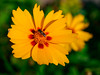 A yellow daisy (Raoul Pop) Tags: garden spring color mimicry plants flowers pollen home daisy fly yellow macro asteracea