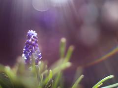 Light shower (Tomo M) Tags: macromademoiselle flower macro light outdoor garden spring shower rainbow muscari grapehyacinth ムスカリ nature pentacon
