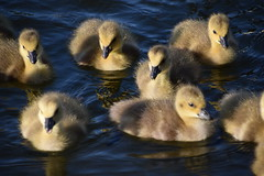 DSC_2304 Hyde Park London The Serpentine Lake Wildlife Birds Canadian Geese and Goslings (photographer695) Tags: hyde park london the serpentine lake wildlife birds royal swans cygnets canadian geese goslings