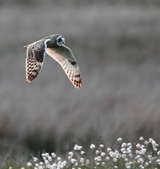 short eared owl (alunwilliams155) Tags: asioflammeus shortearedowl tellurianglustiog owl bird cottongrass