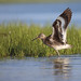 Willet Wing