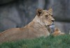Lioness (Scott 97006) Tags: lion female ladies resting alert waiting watching cat