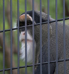 Behind Bars (Scott 97006) Tags: primate monkey zoo animal cage bars beard face eyes watching
