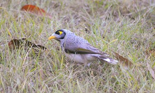 Startled Expression, Noisy Miner