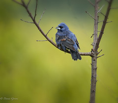 Blue Grosbeak (dngovoni) Tags: action background bird bluegrosbeak bombayhook delaware spring wildlife smyrna unitedstates us