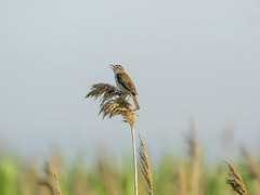 P5310475 (turbok) Tags: schilfrohrsängeracrocephalusschoenobaenus tiere vögel wildtiere c kurt krimberger