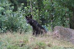 Louveteau du Canada (Passion Animaux & Photos) Tags: louveteau canada canadian wolf cub canis lupus occidentalisance