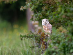 Barn Owl - field boundary (Tony McLean) Tags: ©2018tonymclean tophilllow eastyorkshire wildlifephotography naturephotography nikond4 nikon500f4gvr barnowl