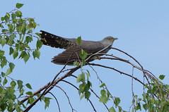 IMGP8674a Cuckoo, Wicken Fen, May 2018 (bobchappell55) Tags: wild wildlife wickenfen nature nationaltrust bird cuckoo cuculuscanorus