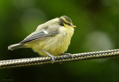 blue tit (4) (Simon Dell Photography) Tags: young fledged blue tit babys bird juv cute small fluffy simon dell photography nature wildlife wild life birds garden feeders photo hig res detail sheffield shirebrook valley springwatch countryfile summer spring