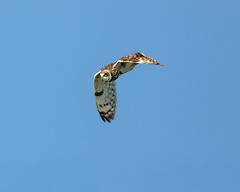 Short-eared Owl (warren hanratty) Tags: wildbird skomer warrenhanrattyphotography wildlife owl seo nature bird shortearedowl gloucestershire skomerisland pembrokeshire asioflammeus