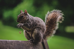 Squirrel (olwan_eriksson) Tags: united kingdom canon eos england uk travel freedom lifestyle animal squirrel outdoor park bench eat eating nuts summer 2018 tree