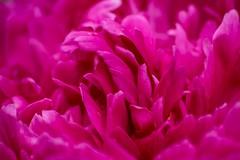 Peony Heart (Marilely) Tags: pink peony pfingstrose rosa blütenblätter pétales rose pivoine herz cœur bokeh