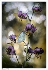 Le Lys et le roi (laurent fiol) Tags: macro proxi proxy nuit papillon butterfly mariposa gazé nature fleur flower lis lilium lys