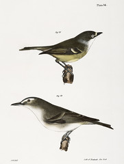 78. The White-eyed Greenlet (Vireo noveboracensis) 79. The Red-eyed Greenlet (Vireo olivaceus) illustration from Zoology of New york (1842 - 1844) by James Ellsworth De Kay (1792-1851). (Free Public Domain Illustrations by rawpixel) Tags: bird otherkeywords animal antique cc0 creativecommon0 creativecommons0 dekay greenlet handdrawing handdrawn illustration jamesedekay jamesellsworth jamesellsworthdekay name old publicdomain redeyed sketch vintage vireonoveboracensis vireoolivaceus whiteeyed zoologyofnewyork zoologyofny
