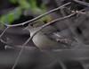 Alder Flycatcher (Laura Erickson) Tags: harborisland alderflycatcher species lincolncounty birds events tyrannidae passeriformes maine places joyofbirding2018 empidonaxalnorum