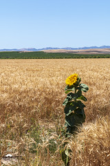 Standing Alone (allentimothy1947) Tags: bloom blossoms flowers pretty wheat field landscape sunflower vineyard sky blue yellow agriculture leaves golden mountains yolo county california i5 volunteer orcherds hills