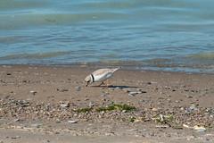 Piping Plover (dunescape) Tags: pipingplover toronto torontoisland lakeontario shorebird