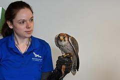 Lanner Falcon (National Aviary) (stinkenroboter) Tags: lannerfalcon falcobiarmicus bird zookeeper hand falconry nationalaviary pittsburgh