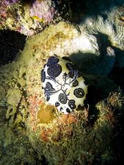 Jorunna funebris, Umbria wreck, Port Sudan (sharksfin) Tags: umbria wreck sudan redsea rotesmeer ocean marine life wild sea diving marinelife meer reef coral riff deepsouth