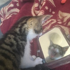 AHHH (rjmiller1807) Tags: cat kitten kitty fosterkitten mirror cute funny sweet iphonese iphonography iphone adoptdontshop adoptarescue 2017 december reflection silly capetown
