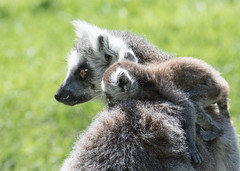 On mum's shoulder (littlestschnauzer) Tags: yorkshire wildlife park uk lemurs lemur ringtailed endangered species madagascar 2018 zoo woods woodland shoulder baby young mum parenthood fluffy