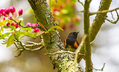 American Restart Framed (John Kocijanski) Tags: bokeh bird animal wildlife nature tree americanredstart warbler flowers blossoms canon70300mmllens canon7d