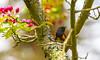 American Restart Framed (John Kocijanski) Tags: bokeh bird animal wildlife nature tree americanredstart warbler flowers blossoms canon70300mmllens canon7d