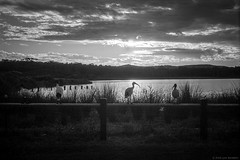 ibis, Dee Why lagoon 2018  #628 (lynnb's snaps) Tags: 201803 canonp ilfordfilm xtol bw film fp4 rangefinder blackandwhite bianconegro bianconero blackwhite biancoenero blancoynegro noiretblanc schwarzweis monochrome ishootfilm sydney australia wetlands birds ibis lake sunset lagoon deewhylagoon clouds