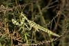 Thistle Mantis (Blepharopsis mendica) (Ron Winkler nature) Tags: thistle mantis blepharopsismendica blepharopsis mendica mantid preying insect nature macro wildlife israel canon 100mm