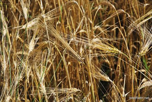 Пшениця, жито, овес InterNetri  Ukraine 028