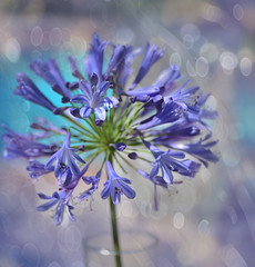 Lily of the Nile (Zara Calista) Tags: lilyofthenile agapanthus african blue bell california common bokeh dof