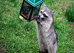 Masked Bandit Caught in the Act (Anne Ahearne) Tags: wild animal nature wildlife raccoon bird feeder