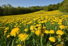 d'un tapis de fleurs de pissenlit (Excalibur67) Tags: nikon d750 sigma 1224f4556iidghsm paysage landscape campagne prairie nature flowers fleurs pissenlits dandelion yellow jaune