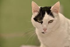 I'll kill you! (Le dahu) Tags: cat model portrait animal indoors face eyes white scary d610 fx nikon tamron 70200 200mm darktable