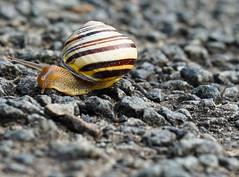 Decrease in speed / Entschleunigung (frankdorgathen) Tags: alpha6000 sigma60mm ruhrpott ruhrgebiet westpark bochum bokeh fauna tier animal worm schnecke snail