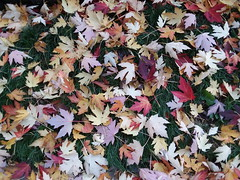 11-07-17 Dayton 10 leaves, fall color (Chicagoan in Ohio) Tags: dayton clouds sun sunhalo leaves fallcolor