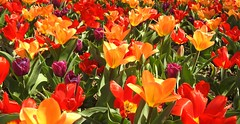 4001ex bright and bountiful (jjjj56cp) Tags: flowers blossoms blooms tulips spring springtime multicolored red orange yellow gold purple bright vivid color colorful springgrove cincinnati oh ohio p900 jennypansing