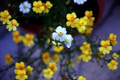 DSC_7918 (Achille D'Onofrio ® All Rights Reserved) Tags: macro fiori colori natura
