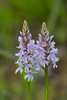 marsh orchid (colin 1957) Tags: marshorchid orchid grovefarm