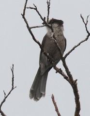 Gray Jay [Pacific] (Perisoreus canadensis [obscurus group]) 06-11-2017 Nome-Council Road--Cape Nome to MP 18, Nome Co. AK 2 (Birder20714) Tags: birds alaska jays corvidae perisoreus canadensis pacificus