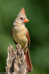 Northern Cardinal (Matt Cuda - www.mattcuda.com) Tags: cardinal northerncardinal beautiful bird birdwarching birding birds cute feathers forsythcounty nc northcarolina perched summer