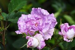 DSC_0020 (PeaTJay) Tags: nikond750 sigma reading lowerearley berkshire macro micro closeups gardens outdoors nature flora fauna plants flowers bouquet rose roses rosebuds