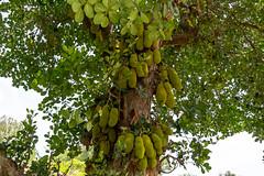 Jackfruit Tree (Subash BGK) Tags: araku jackfruit jackfruittree